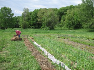 Cheryl mulching the garlic with newspaper and hay