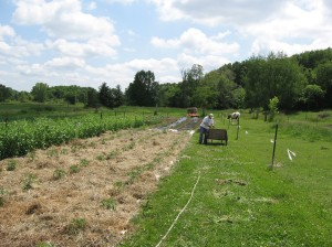 Sherryl mulching the tomatoes with newspaper and hay