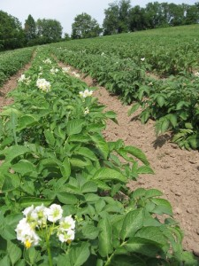 Potato flowers