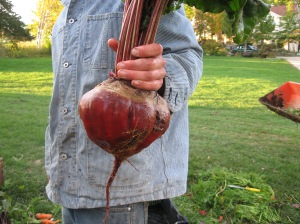 One extremely large beet.