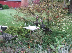 While the chickens are cleaning up the garden, the turkey's are busy cleaning the crabapples off of my 'Sargent' crab.