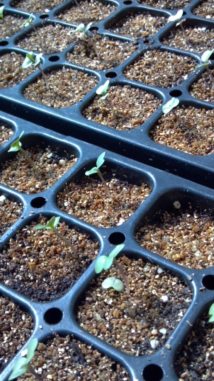 Baby Brassicas, hoping for cooler weather