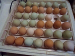 Our incubator filled with eggs for hatching.  Not all will be viable; they will be candled to check for development about a week after they start incubating.
