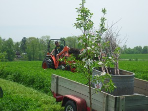 Finishing up with the cherry treen planting.  Blooming here is a semi-dwarf Golden Delicious apple tree!