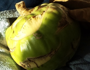 'Kossak' kohlrabi; 8 lbs. of deliciousness!