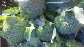 Sweet, fall broccoli