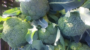 Sweet, fall broccoli